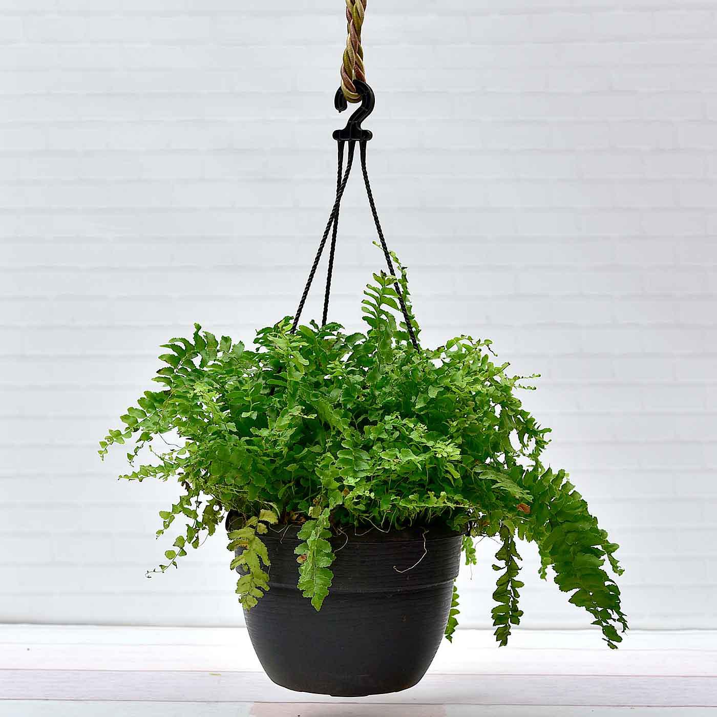 Asparagus-Ferns-Plant