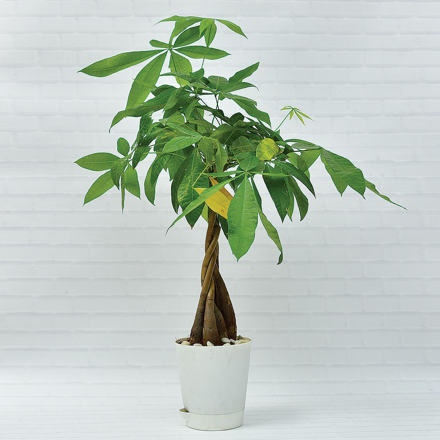 Braided-Malabar-Chestnut-Pachira-Bonsai-Money-Tree-Plant