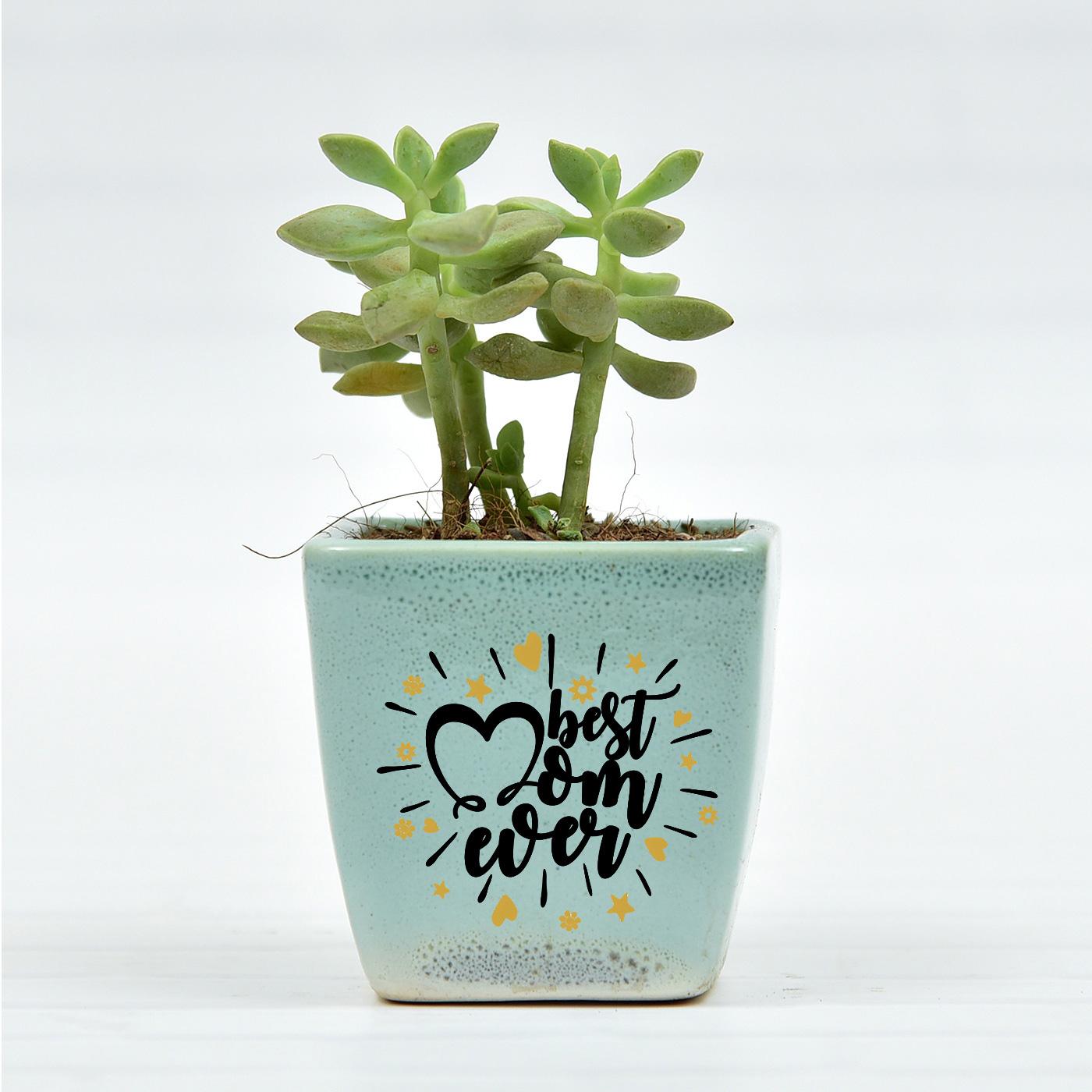Cute-Echieviera-Succulent-In-Small-Ceramic-Planter