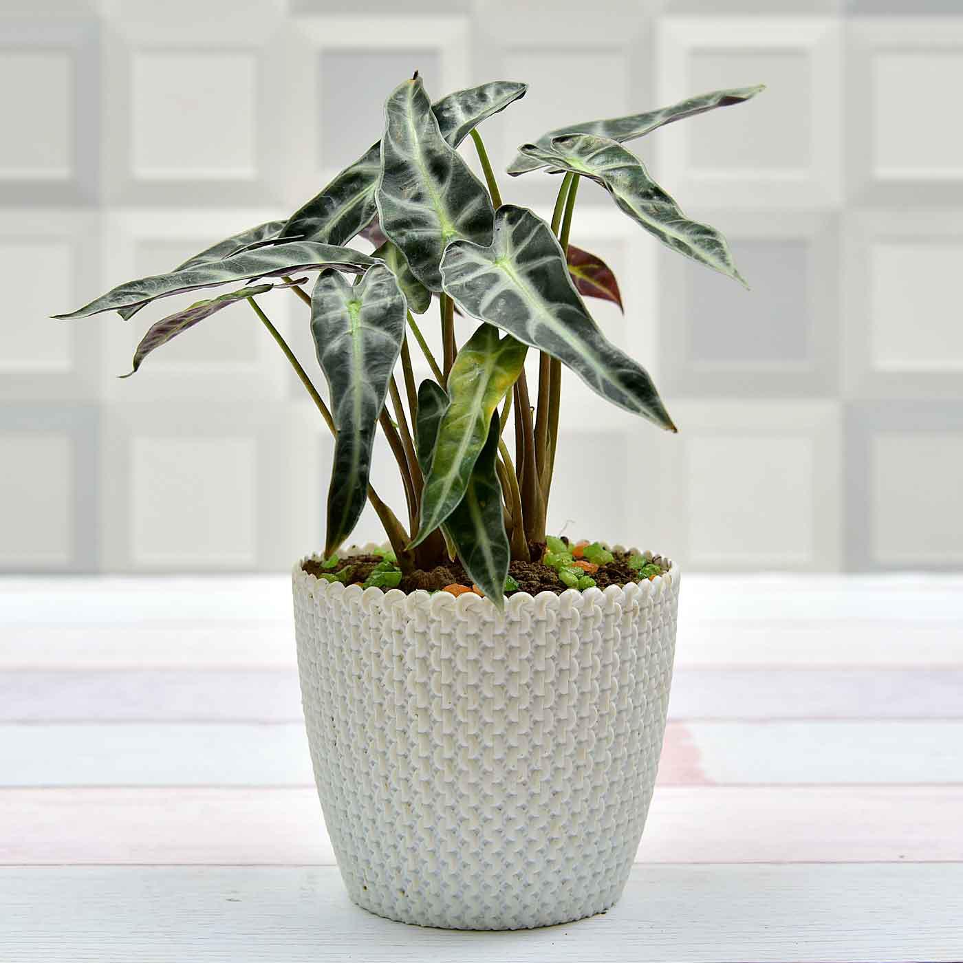 Exotic-Alocasia-Plant-In-White-Textured-Pot
