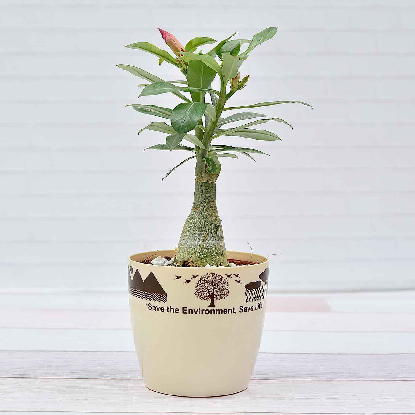 Gorgeous-Adenium-Plant