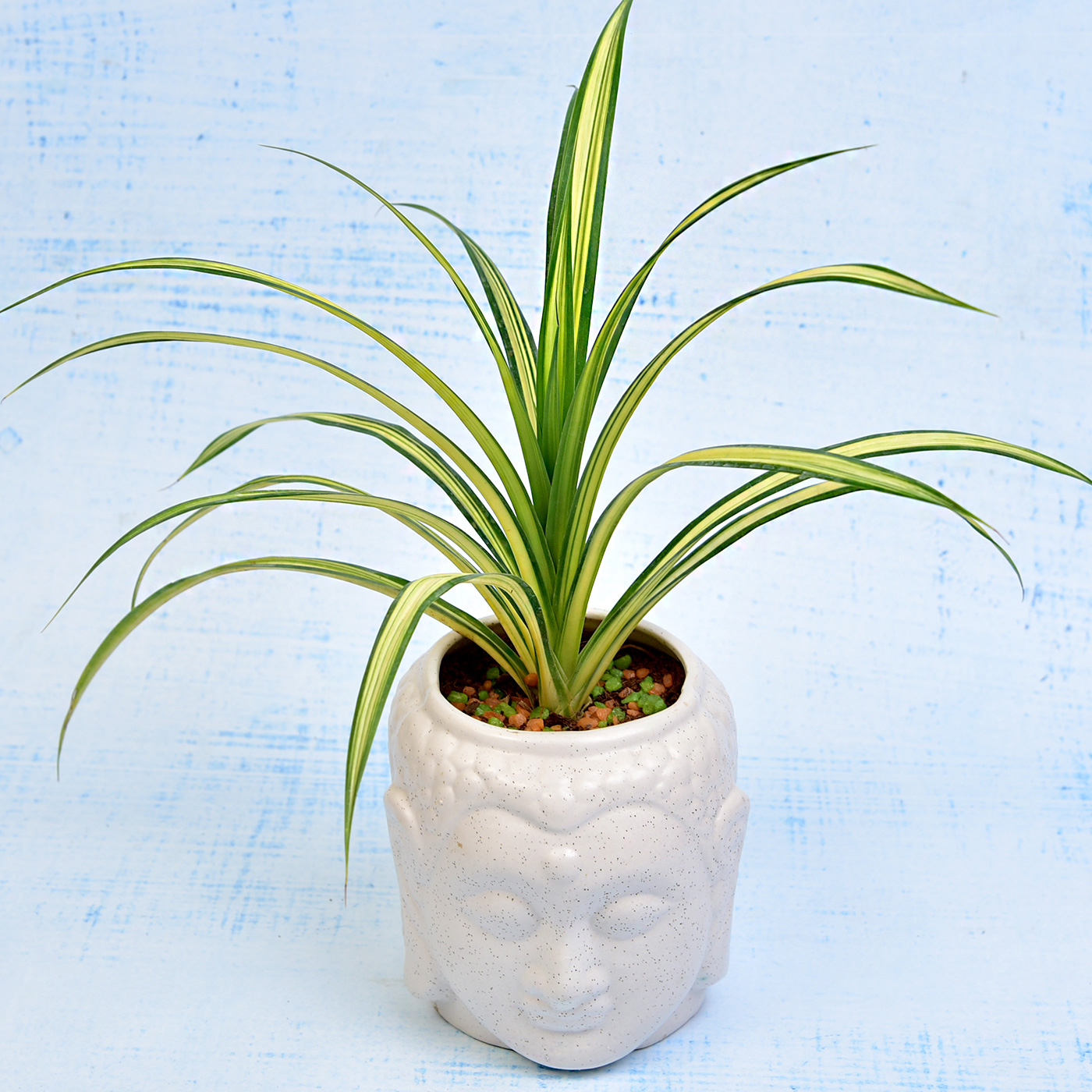 Vibrant Dracaena Pendulous Plant