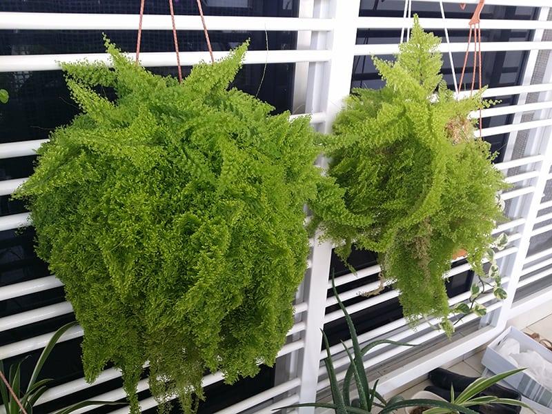 Maidenhair-Ferns